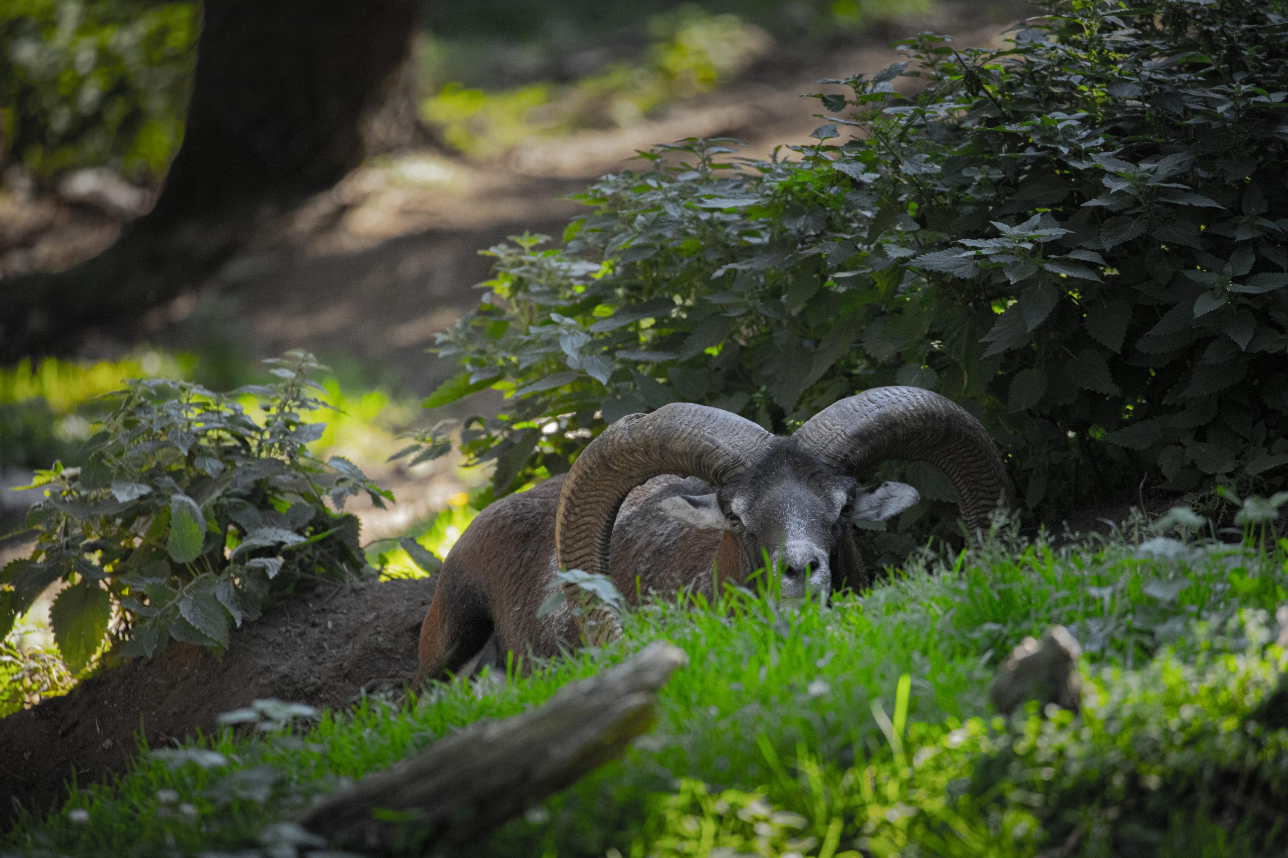 bouquetin-mouflon-vert-foret-photographe-professionnel
